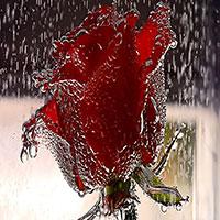 روشن کننده طبیعی-کرم روشن کننده-کرم روشن کننده پوست-گل سرخ